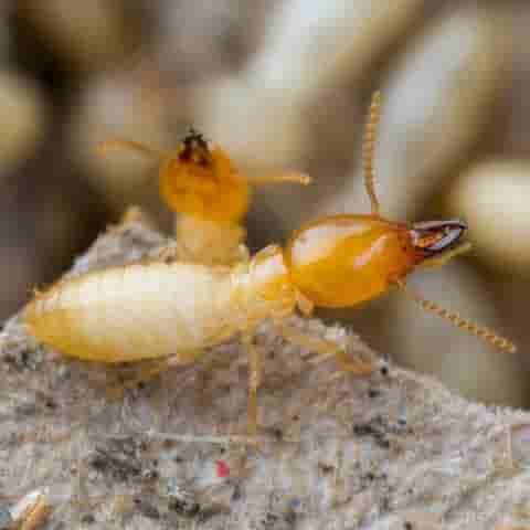 termites_pest11